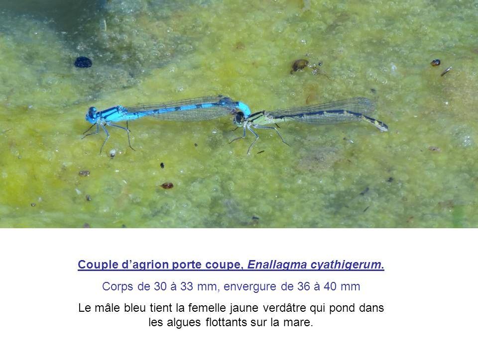 Couple dagrion porte coupe, Enallagma cyathigerum. Corps de 30 à 33 mm, envergure de 36 à 40 mm Le mâle bleu tient la femelle jaune verdâtre qui pond