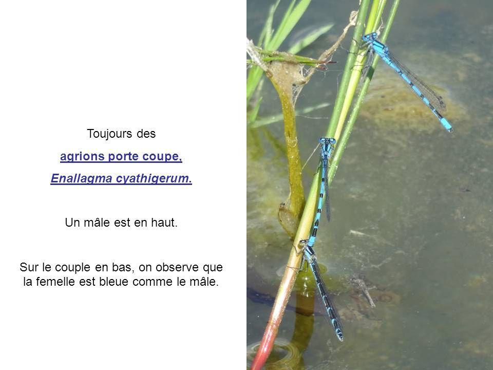 Toujours des agrions porte coupe, Enallagma cyathigerum. Un mâle est en haut. Sur le couple en bas, on observe que la femelle est bleue comme le mâle.