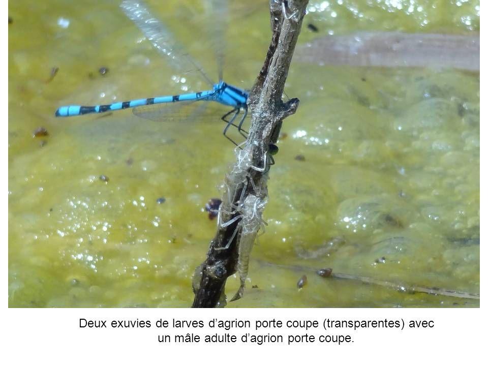Deux exuvies de larves dagrion porte coupe (transparentes) avec un mâle adulte dagrion porte coupe.