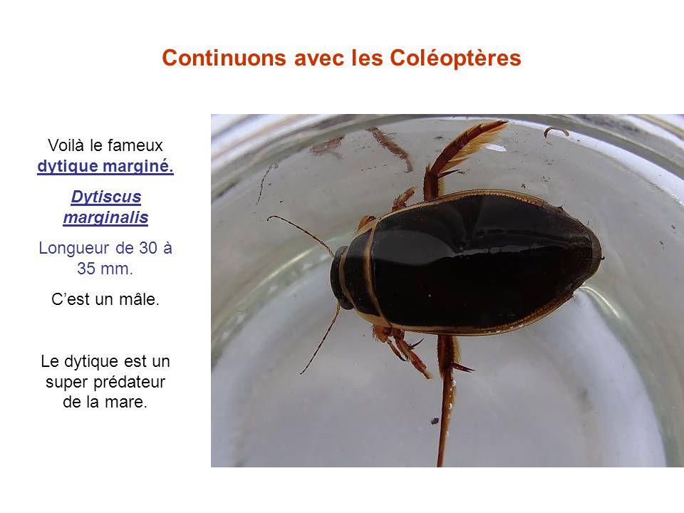 Continuons avec les Coléoptères Voilà le fameux dytique marginé. Dytiscus marginalis Longueur de 30 à 35 mm. Cest un mâle. Le dytique est un super pré