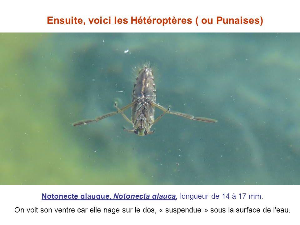 Ensuite, voici les Hétéroptères ( ou Punaises) Notonecte glauque, Notonecta glauca, longueur de 14 à 17 mm. On voit son ventre car elle nage sur le do