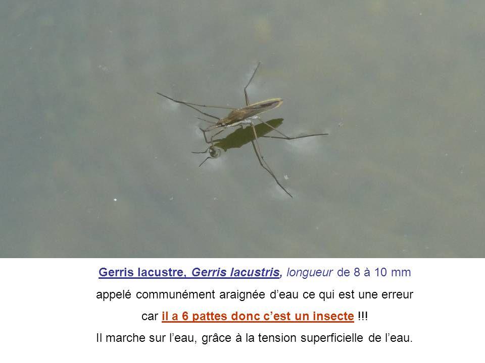 Gerris lacustre, Gerris lacustris, longueur de 8 à 10 mm appelé communément araignée deau ce qui est une erreur car il a 6 pattes donc cest un insecte