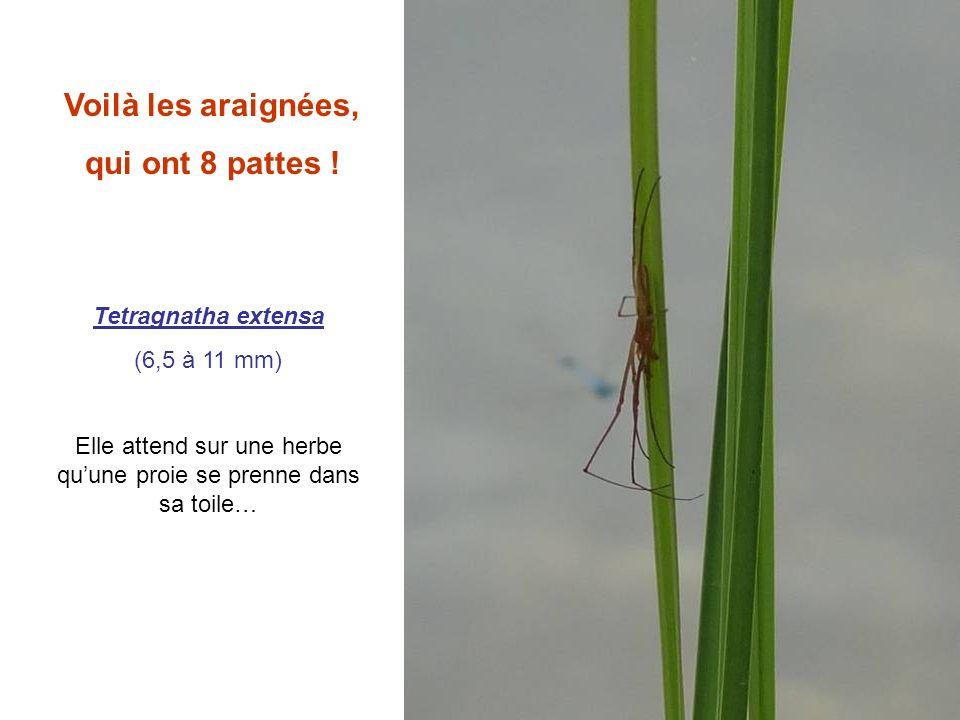 Voilà les araignées, qui ont 8 pattes ! Tetragnatha extensa (6,5 à 11 mm) Elle attend sur une herbe quune proie se prenne dans sa toile…