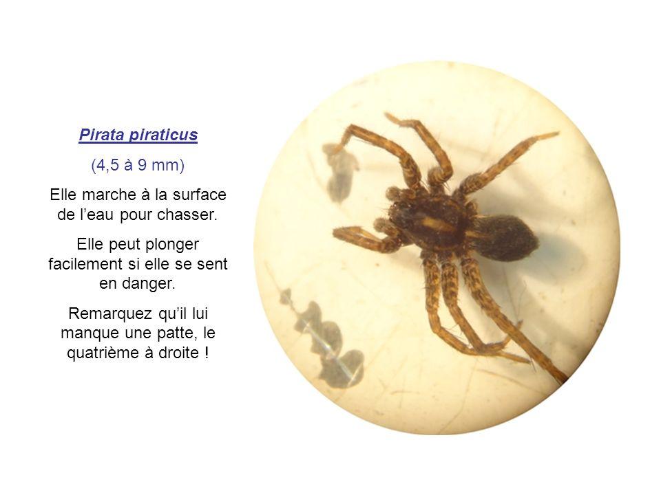Pirata piraticus (4,5 à 9 mm) Elle marche à la surface de leau pour chasser. Elle peut plonger facilement si elle se sent en danger. Remarquez quil lu