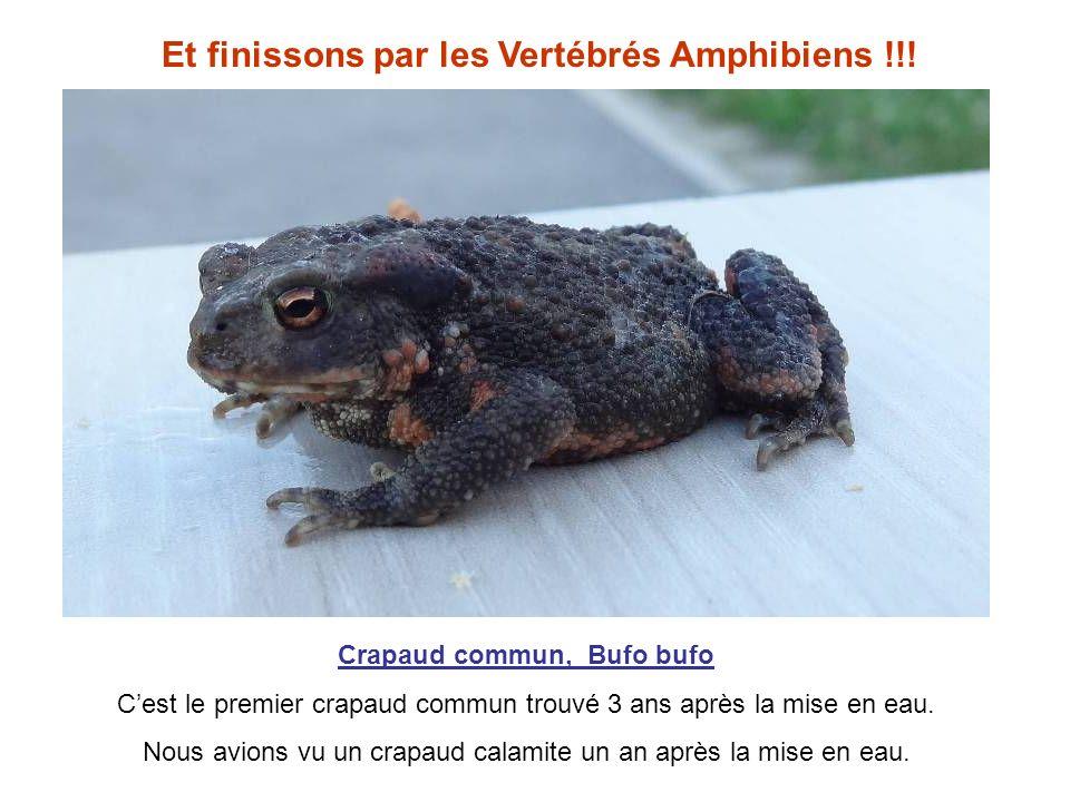 Et finissons par les Vertébrés Amphibiens !!! Crapaud commun, Bufo bufo Cest le premier crapaud commun trouvé 3 ans après la mise en eau. Nous avions