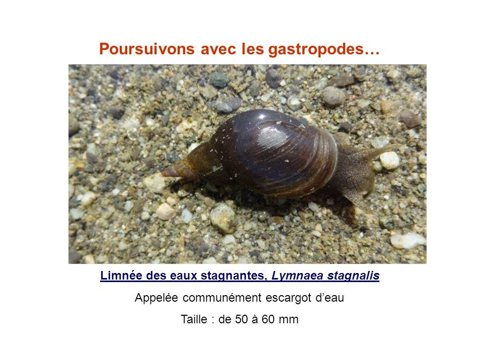 Poursuivons avec les gastropodes… Limnée des eaux stagnantes, Lymnaea stagnalis Appelée communément escargot deau Taille : de 50 à 60 mm