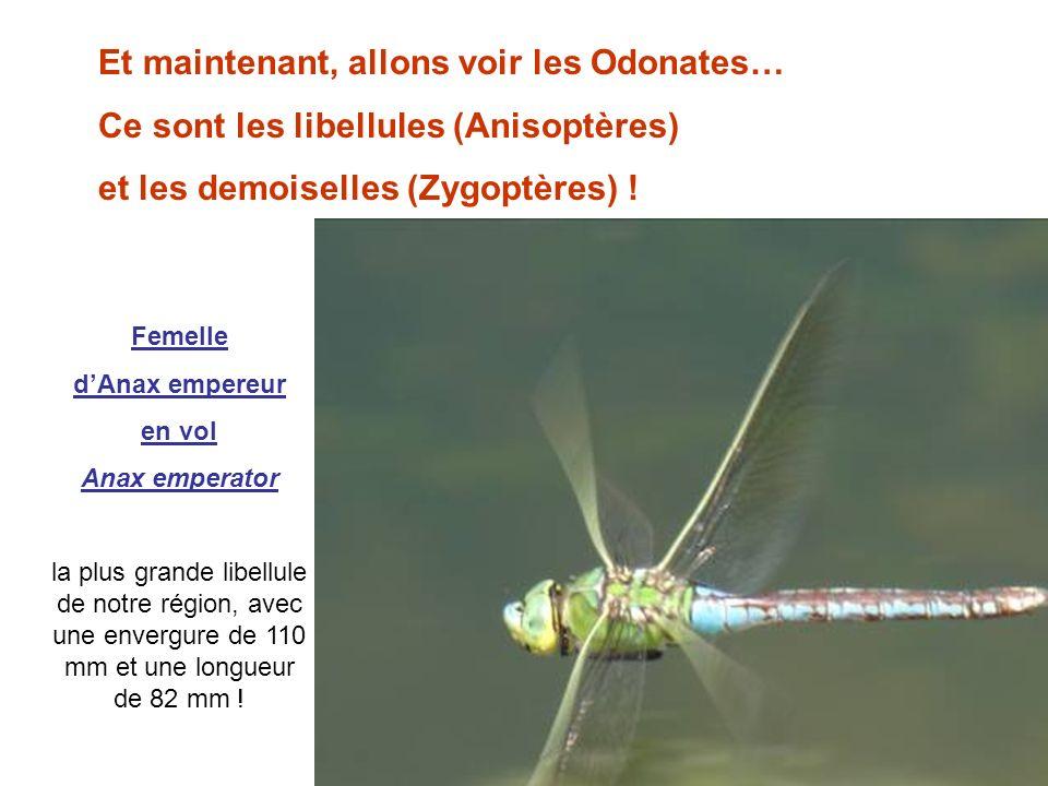 Et maintenant, allons voir les Odonates… Ce sont les libellules (Anisoptères) et les demoiselles (Zygoptères) ! Femelle dAnax empereur en vol Anax emp