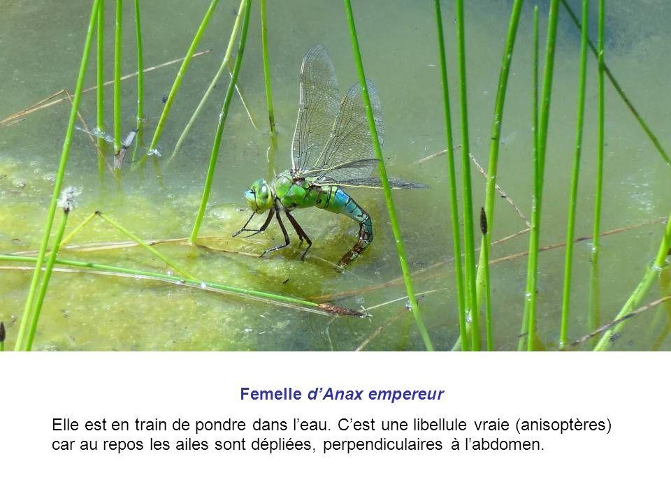 Femelle dAnax empereur Elle est en train de pondre dans leau. Cest une libellule vraie (anisoptères) car au repos les ailes sont dépliées, perpendicul