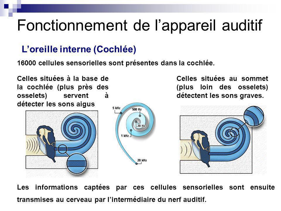 Loreille interne (Cochlée) 16000 cellules sensorielles sont présentes dans la cochlée. Celles situées à la base de la cochlée (plus près des osselets)