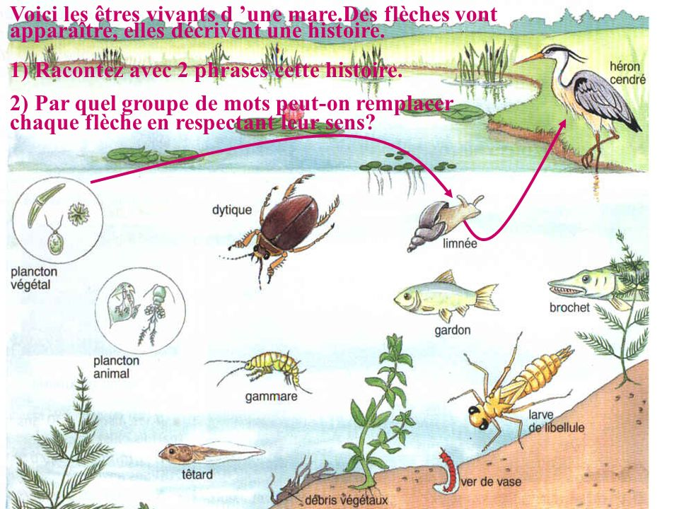Voici les êtres vivants d une mare.Des flèches vont apparaître, elles décrivent une histoire. 1) Racontez avec 2 phrases cette histoire. 2) Par quel g