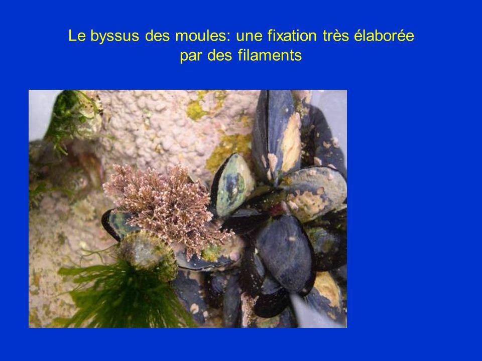 Le byssus des moules: une fixation très élaborée par des filaments