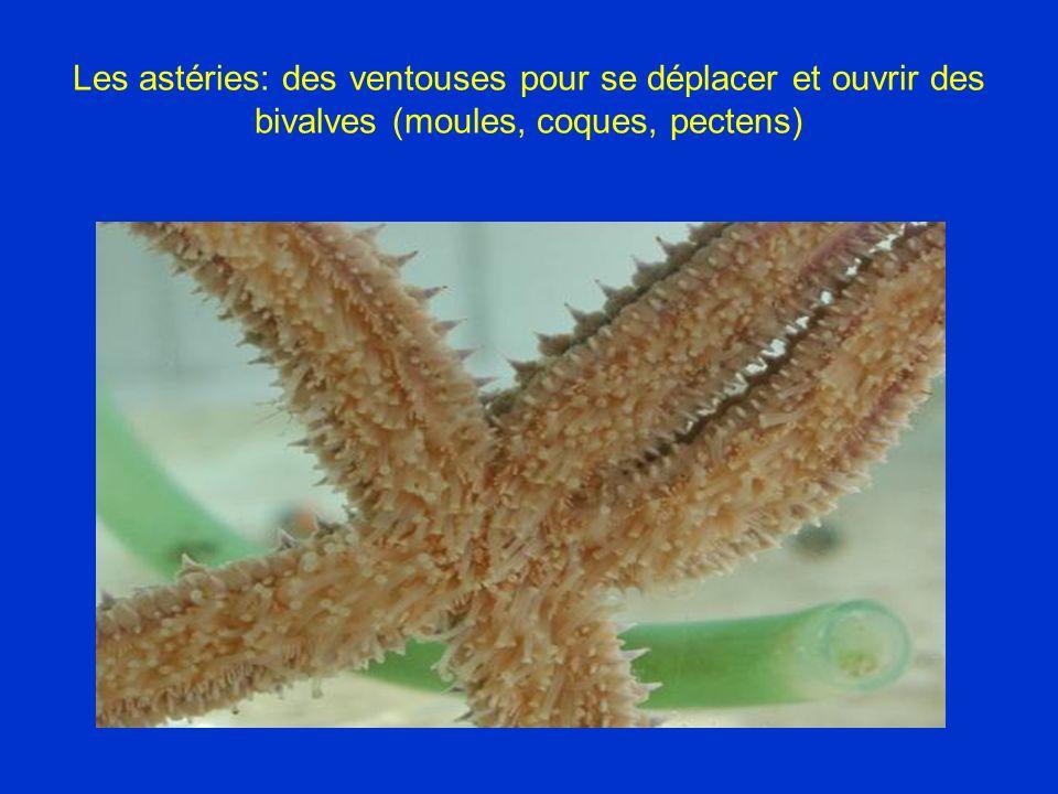 Les astéries: des ventouses pour se déplacer et ouvrir des bivalves (moules, coques, pectens)