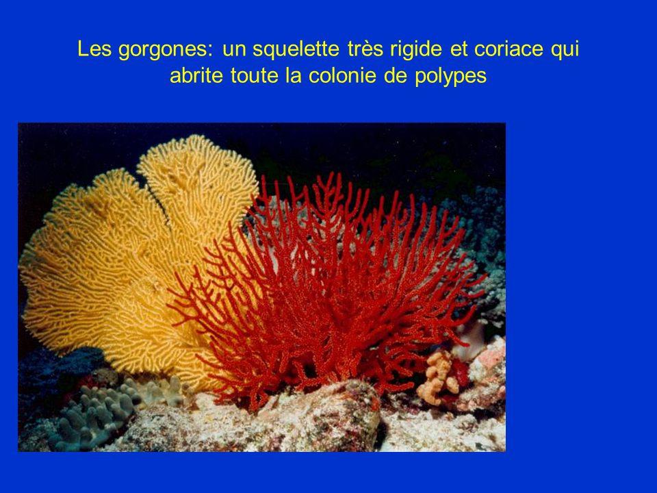 Les gorgones: un squelette très rigide et coriace qui abrite toute la colonie de polypes