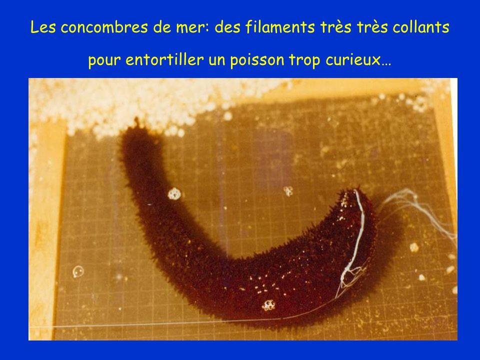 Les concombres de mer: des filaments très très collants pour entortiller un poisson trop curieux… La Barre, 1978