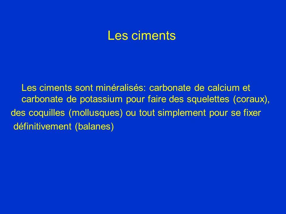 Les ciments Les ciments sont minéralisés: carbonate de calcium et carbonate de potassium pour faire des squelettes (coraux), des coquilles (mollusques) ou tout simplement pour se fixer définitivement (balanes)