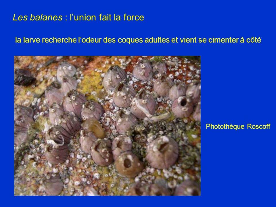 Photothèque Roscoff Les balanes : lunion fait la force la larve recherche lodeur des coques adultes et vient se cimenter à côté