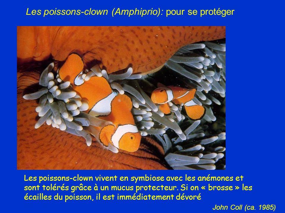 Les poissons-clown vivent en symbiose avec les anémones et sont tolérés grâce à un mucus protecteur. Si on « brosse » les écailles du poisson, il est