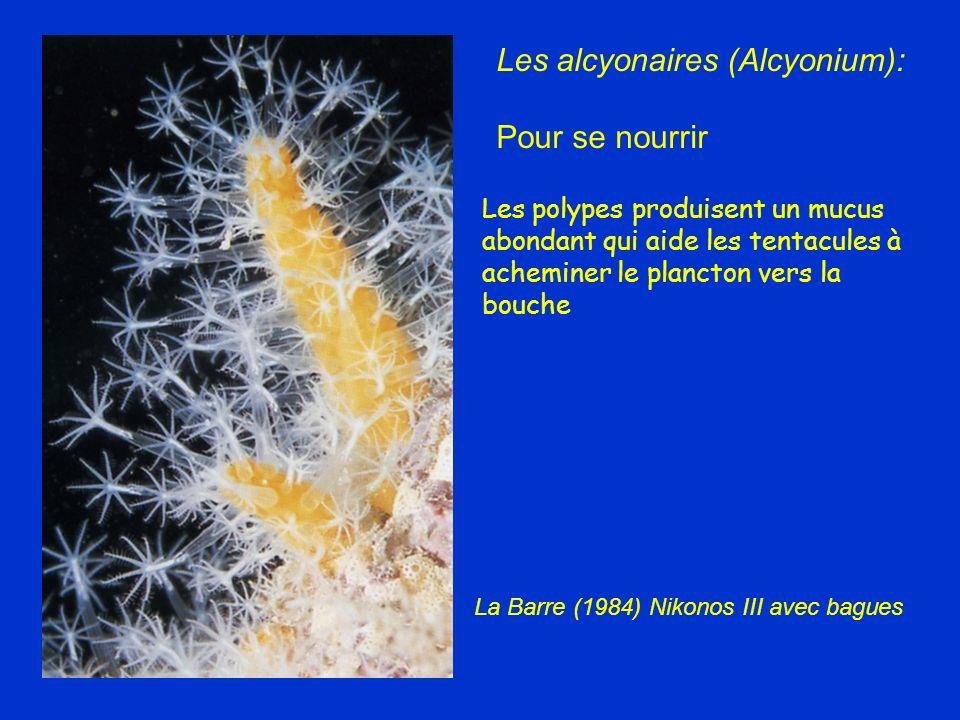 Les alcyonaires (Alcyonium): Pour se nourrir Les polypes produisent un mucus abondant qui aide les tentacules à acheminer le plancton vers la bouche L