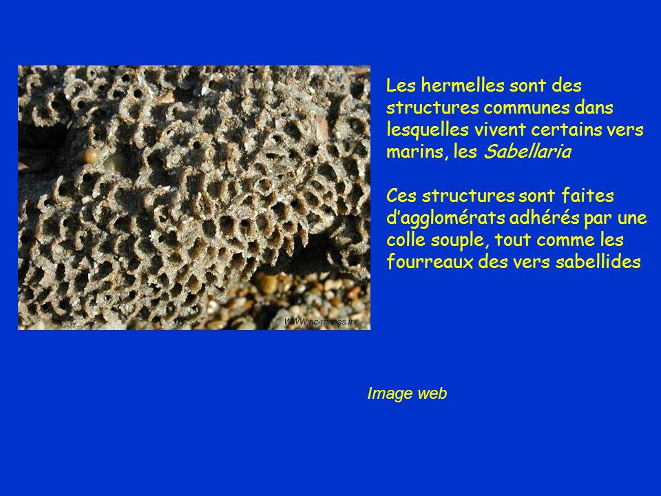 Les hermelles sont des structures communes dans lesquelles vivent certains vers marins, les Sabellaria Ces structures sont faites dagglomérats adhérés par une colle souple, tout comme les fourreaux des vers sabellides Image web