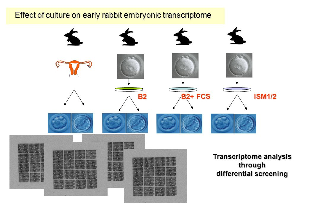 Transcriptome analysis through differential screening Effect of culture on early rabbit embryonic transcriptome B2 B2+ FCS ISM1/2