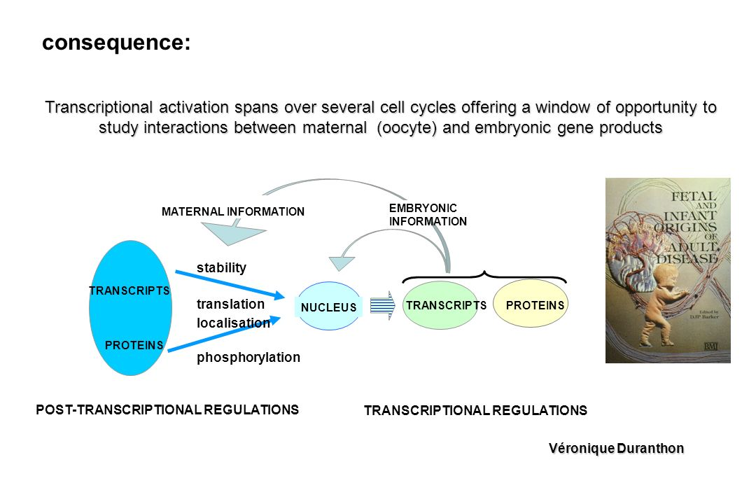 Transcriptional activation spans over several cell cycles offering a window of opportunity to study interactions between maternal (oocyte) and embryonic gene products consequence: POST-TRANSCRIPTIONAL REGULATIONS PROTEINS stability NUCLEUS TRANSCRIPTS TRANSCRIPTIONAL REGULATIONS PROTEINS translation localisation phosphorylation EMBRYONIC INFORMATION MATERNAL INFORMATION TRANSCRIPTS Véronique Duranthon