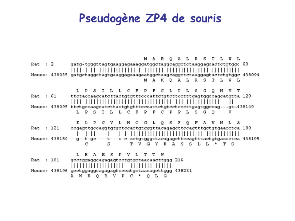 Pseudogène ZP4 de souris
