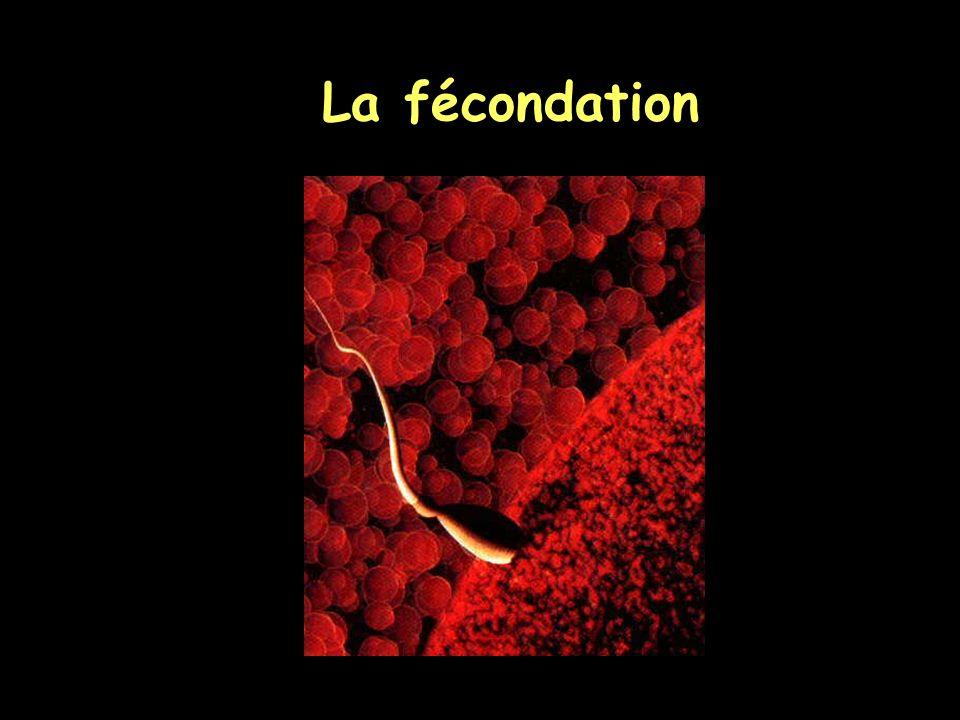 Fécondation in vitro : différence porc/cheval Pas de pénétrationPolyspermie --> Etude comparée de la fécondation
