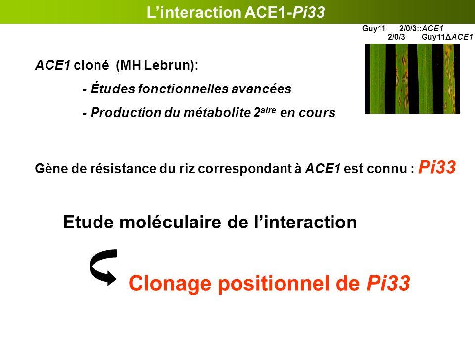 Linteraction ACE1-Pi33 ACE1 cloné (MH Lebrun): - Études fonctionnelles avancées - Production du métabolite 2 aire en cours Gène de résistance du riz c