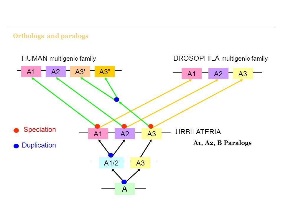 Orthologs and paralogs A1/2A3 A A1A2A3 URBILATERIA A2A3 A1 HUMAN multigenic family A1A2A3 DROSOPHILA multigenic family A1, A2, B Paralogs Duplication
