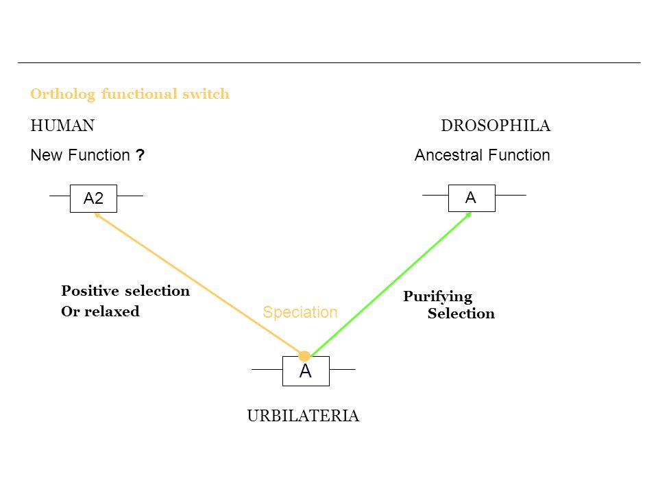 Ortholog functional switch A A2 A URBILATERIA Speciation Purifying Selection DROSOPHILA Ancestral Function HUMAN New Function ? Positive selection Or