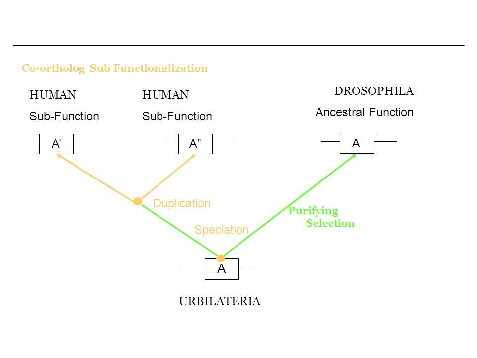 Co-ortholog Sub Functionalization A A A URBILATERIA Speciation Purifying Selection DROSOPHILA Ancestral Function A Duplication HUMAN Sub-Function HUMA