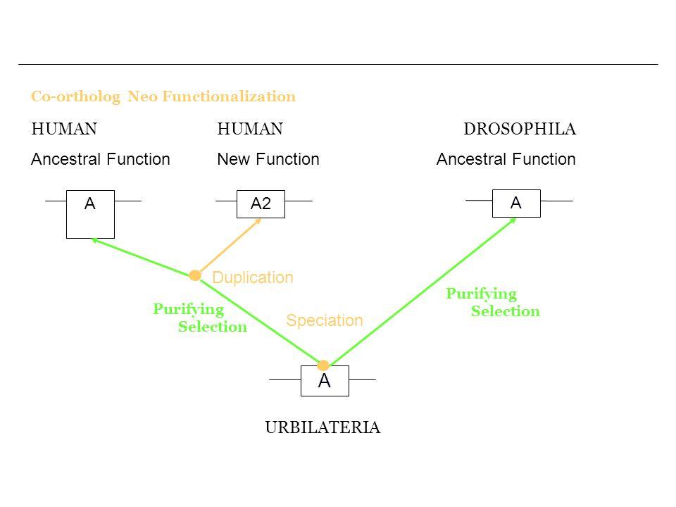 Co-ortholog Neo Functionalization A A A URBILATERIA Speciation Purifying Selection DROSOPHILA Ancestral Function A2 Duplication HUMAN Ancestral Functi