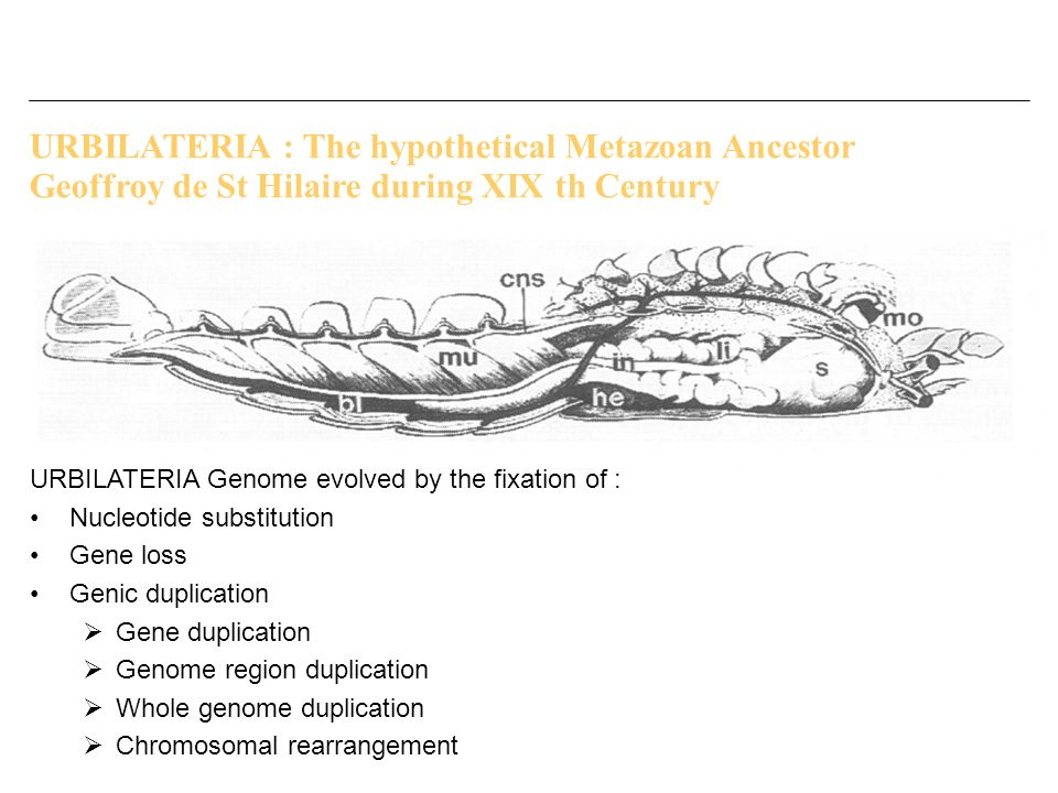 URBILATERIA : The hypothetical Metazoan Ancestor Geoffroy de St Hilaire during XIX th Century URBILATERIA Genome evolved by the fixation of : Nucleoti