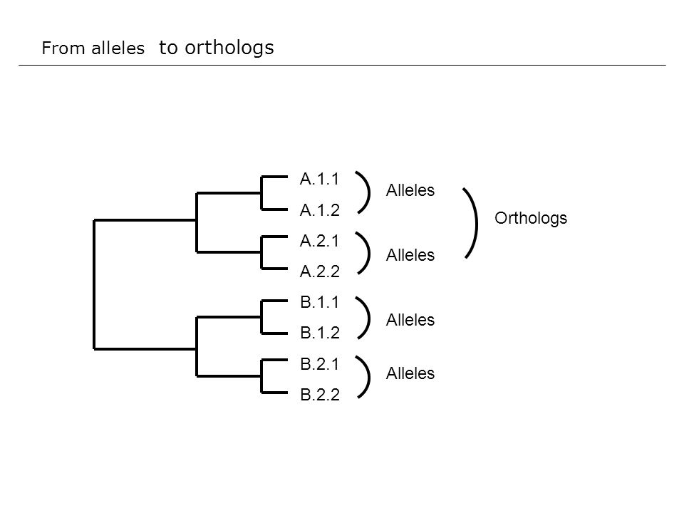 From alleles to orthologs A.1.1 A.1.2 A.2.1 A.2.2 B.1.1 B.1.2 B.2.1 B.2.2 Alleles Orthologs