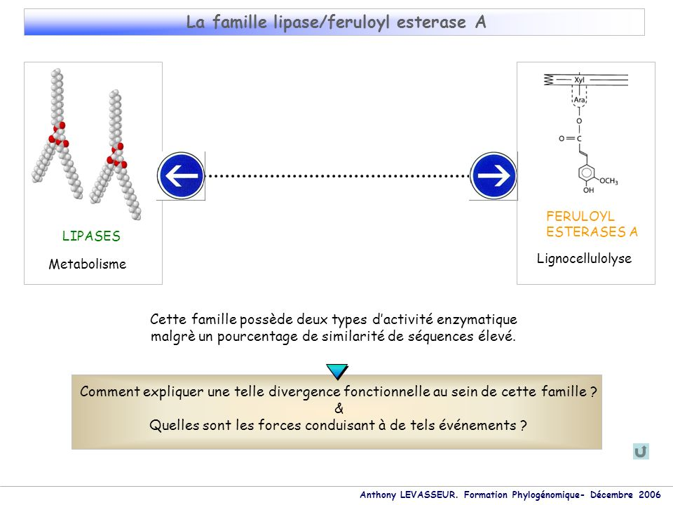 Anthony LEVASSEUR. Formation Phylogénomique- Décembre 2006 La famille lipase/feruloyl esterase A LIPASES FERULOYL ESTERASES A Lignocellulolyse Metabol