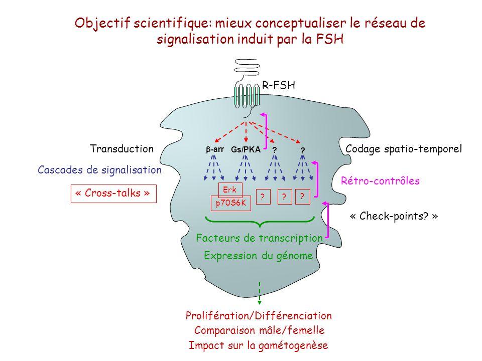 Objectif scientifique: mieux conceptualiser le réseau de signalisation induit par la FSH Prolifération/Différenciation Gs/PKA -arr ? ? p70S6K Erk ? ?