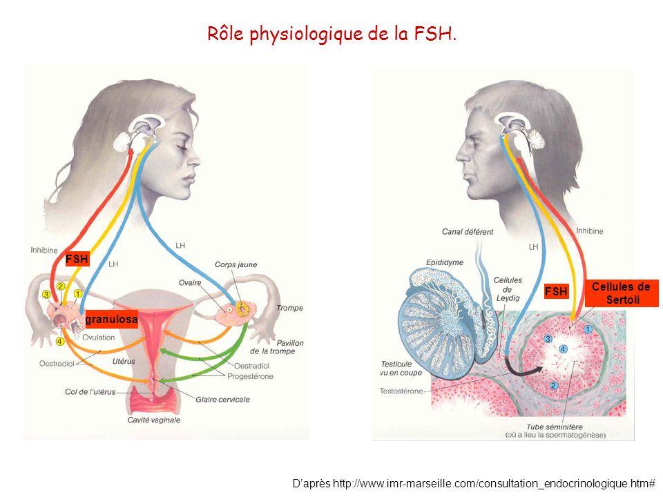 Daprès http://www.imr-marseille.com/consultation_endocrinologique.htm# Rôle physiologique de la FSH. FSH granulosa Cellules de Sertoli