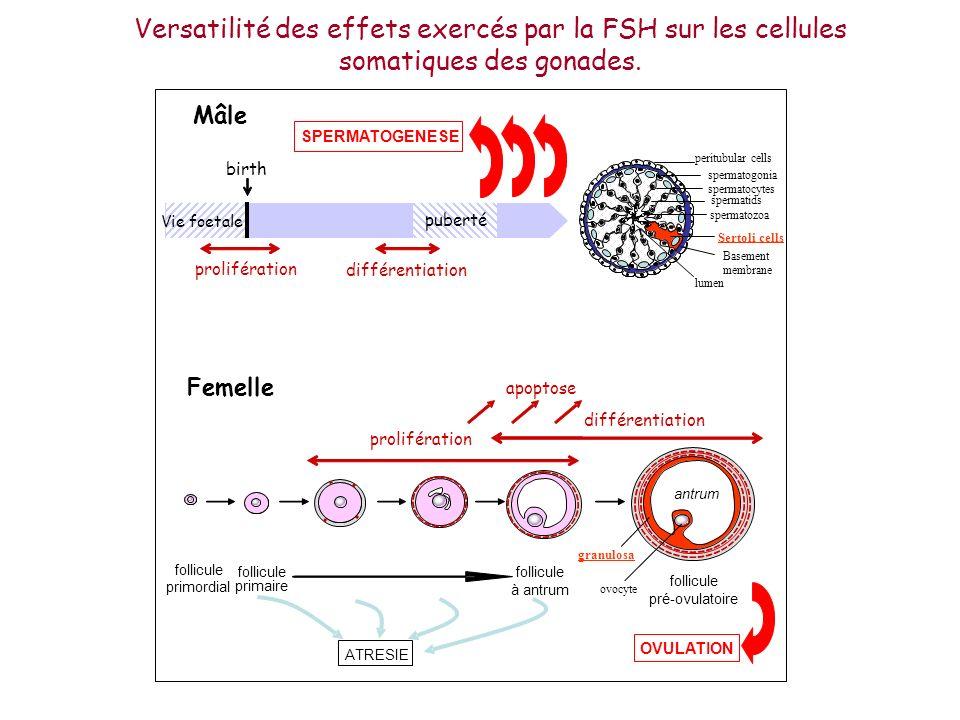 Versatilité des effets exercés par la FSH sur les cellules somatiques des gonades. follicule primaire follicule à antrum follicule pré-ovulatoire foll