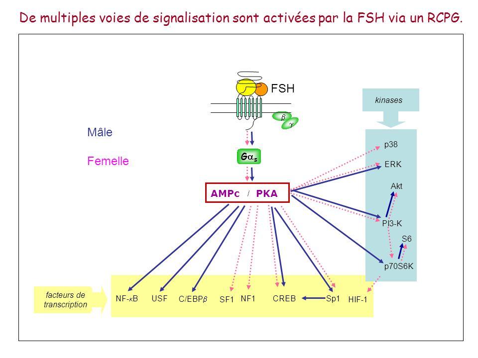 De multiples voies de signalisation sont activées par la FSH via un RCPG. ERK p38 p70S6K AMPc PKA / PI3-K HIF-1 CREBNF1USF C/EBP NF- B Sp1 facteurs de