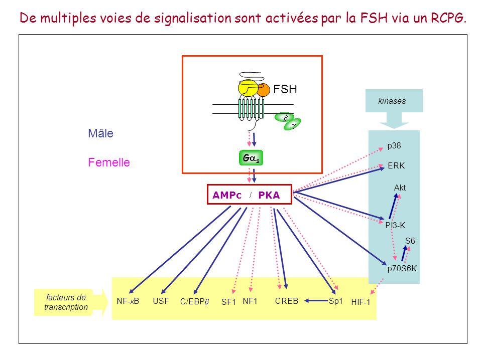 AMPc Réponses cellulaires G s -arrestin GRK P P P P Désensibilisation R-FSH Mécanisme de désensibilisation.