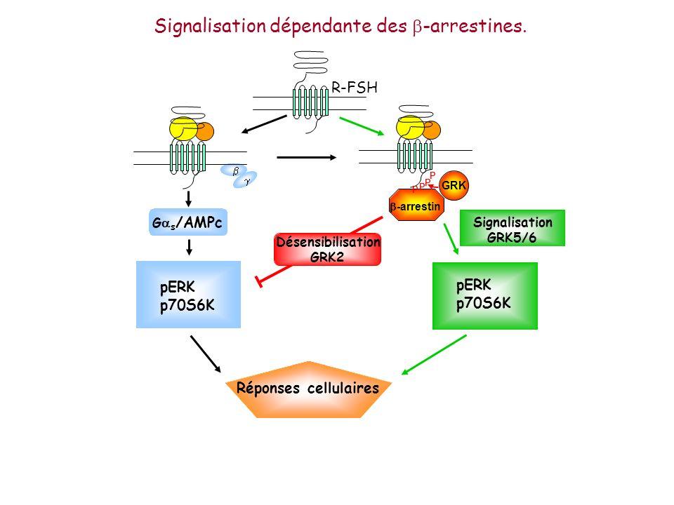 pERK p70S6K G s /AMPc -arrestin GRK P P P P R-FSH Réponses cellulaires Désensibilisation GRK2 pERK p70S6K Signalisation GRK5/6 Signalisation dépendant