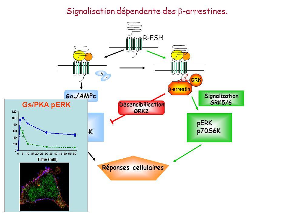 G s /AMPc Signalisation GRK5/6 pERK p70S6K -arrestin GRK P P P P R-FSH Réponses cellulaires Désensibilisation GRK2 Signalisation dépendante des -arres
