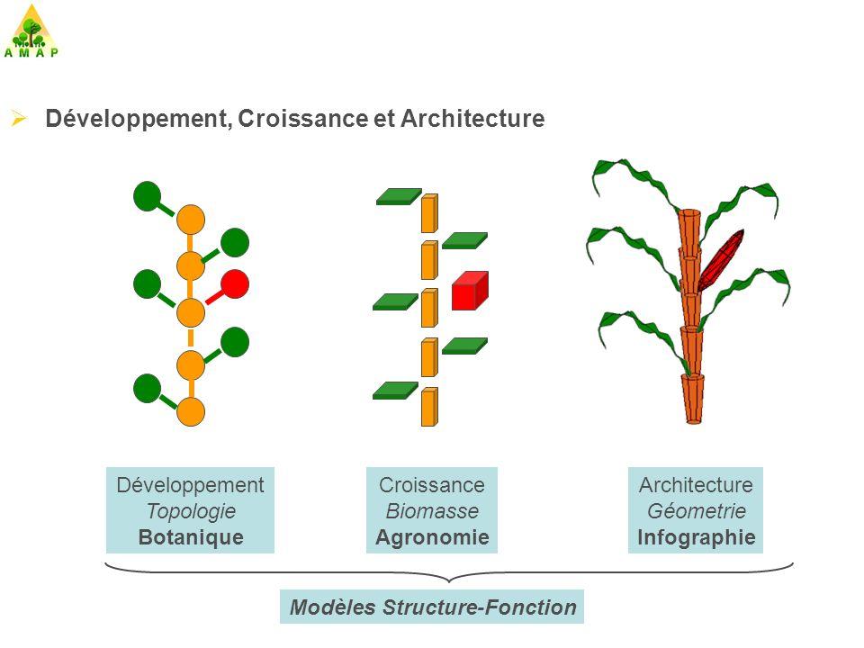 Relations sources-puits dans le modèle dynamique GreenLab (Ph.