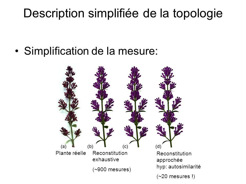 Plante réelle Reconstitution approchée hyp: autosimilarité (~20 mesures !) Reconstitution exhaustive (~900 mesures) Description simplifiée de la topol