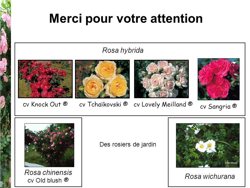 Merci pour votre attention Rosa chinensis cv Old blush ® Rosa hybrida cv Sangria ® cv Lovely Meilland ®cv Tchaïkovski ® cv Knock Out ® Rosa wichurana