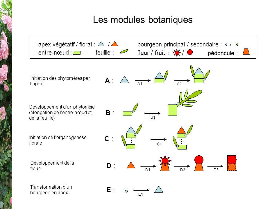 Les modules botaniques entre-nœud :feuille : apex végétatif / floral : / pédoncule : fleur / fruit : / bourgeon principal / secondaire : / A : A1 A2 I