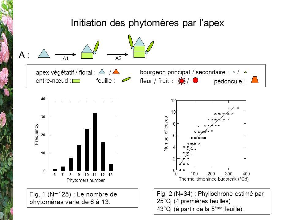 Initiation des phytomères par lapex A : A1 A2 Fig. 1 (N=125) : Le nombre de phytomères varie de 6 à 13. Fig. 2 (N=34) : Phyllochrone estimé par 25°Cj