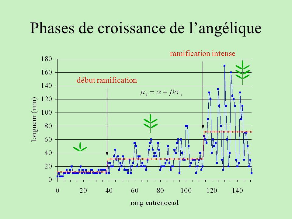 Phases de croissance de langélique début ramification ramification intense