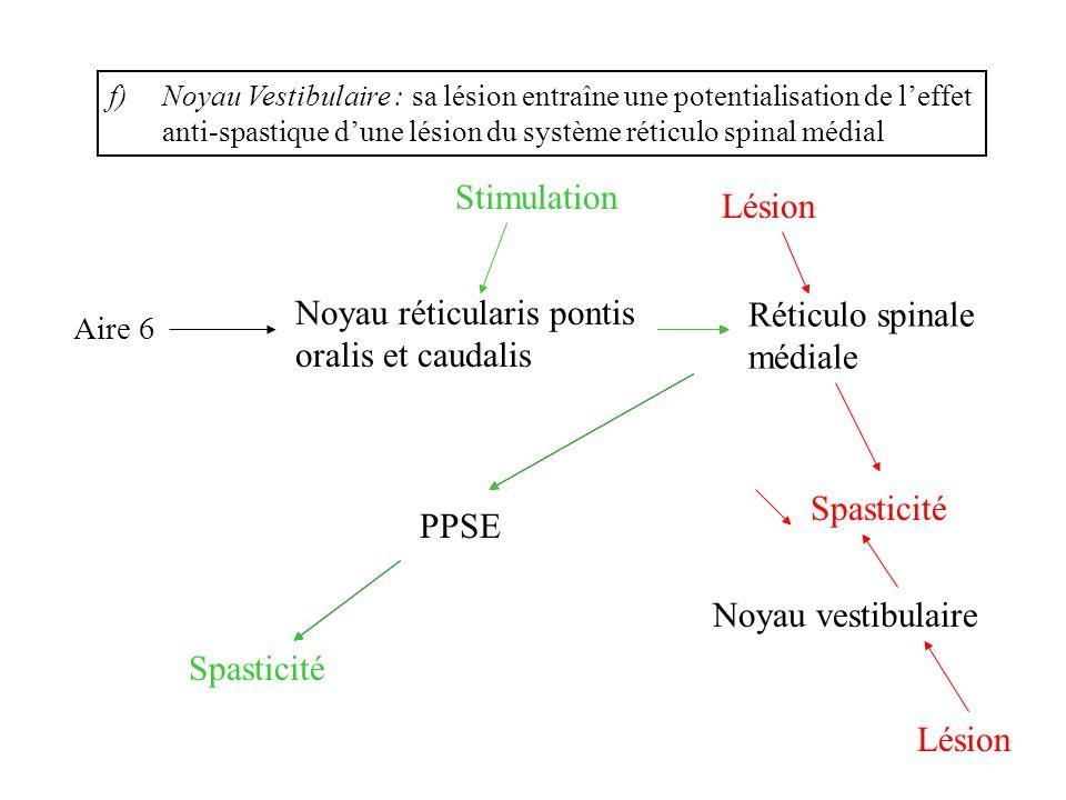 f)Noyau Vestibulaire : sa lésion entraîne une potentialisation de leffet anti-spastique dune lésion du système réticulo spinal médial Réticulo spinale