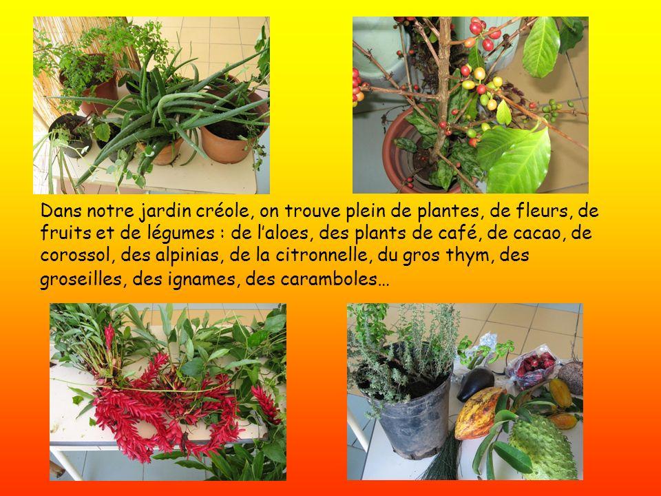 Dans notre jardin créole, on trouve plein de plantes, de fleurs, de fruits et de légumes : de laloes, des plants de café, de cacao, de corossol, des a